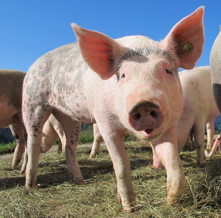 Ein glückliches Schwein auf der Weide - Selbstversorgung Tierhaltung