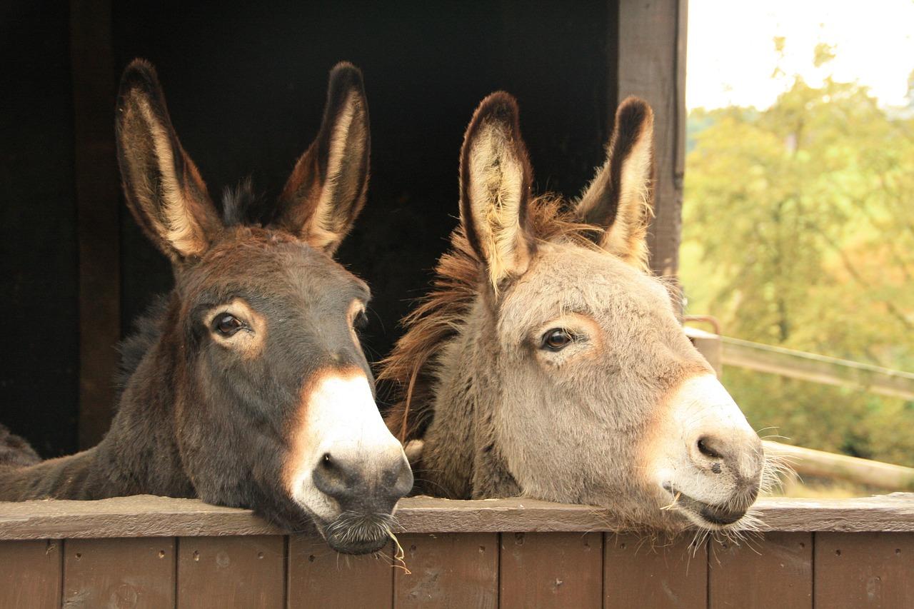 Zwei Esel im Stall - Selbstversorgung Tierhaltung