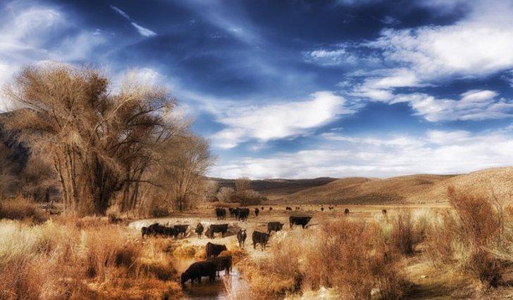 Extensive Rinderherde auf einer grossen Weidefläche - Tierhaltung
