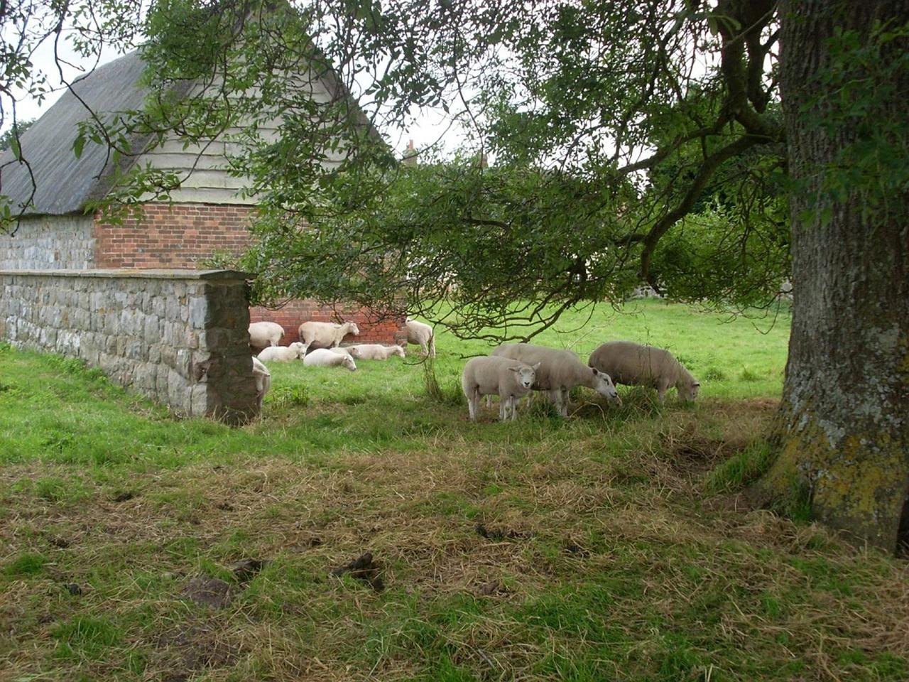 Schafe am Stall - Selbstversorger Tierhaltung