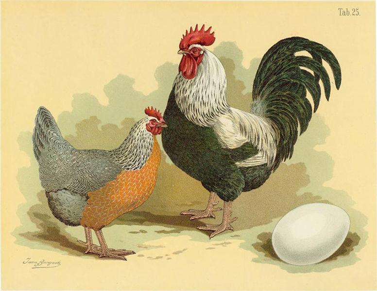 Dorking Hühner sind eine uralte englische Haushuhnrasse und stark gefährdet (Geflügel-Album, Jean Bungartz, 1885)