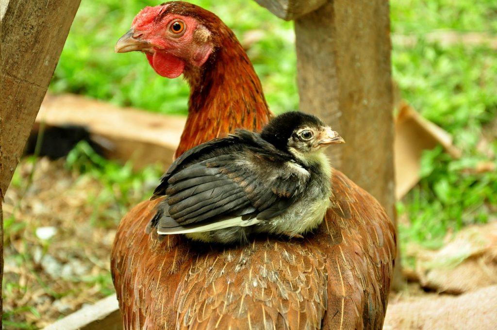 Hühner Zweinutzungsrassen