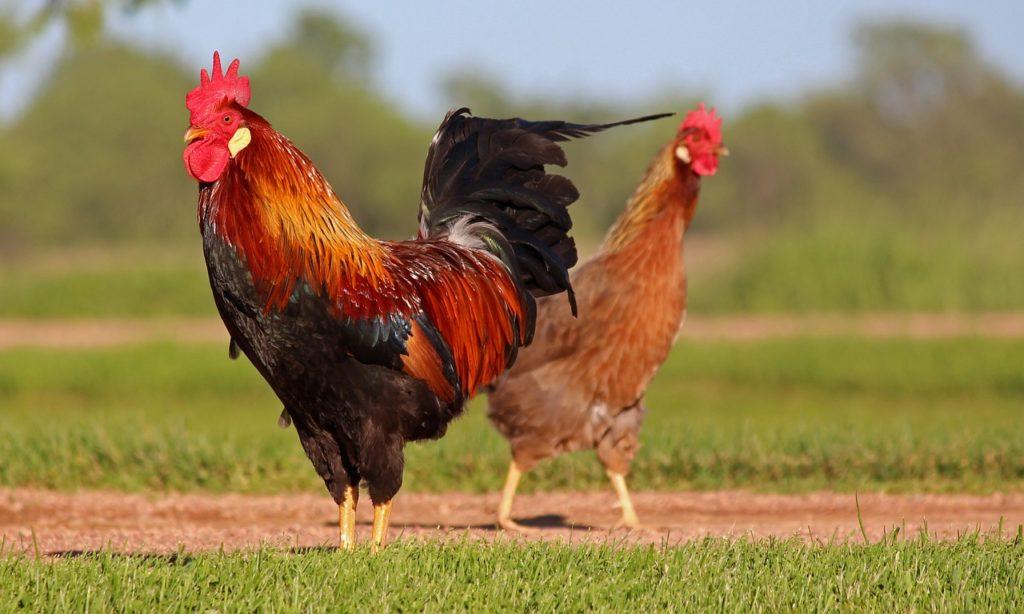 Selbstversorgung Hühner