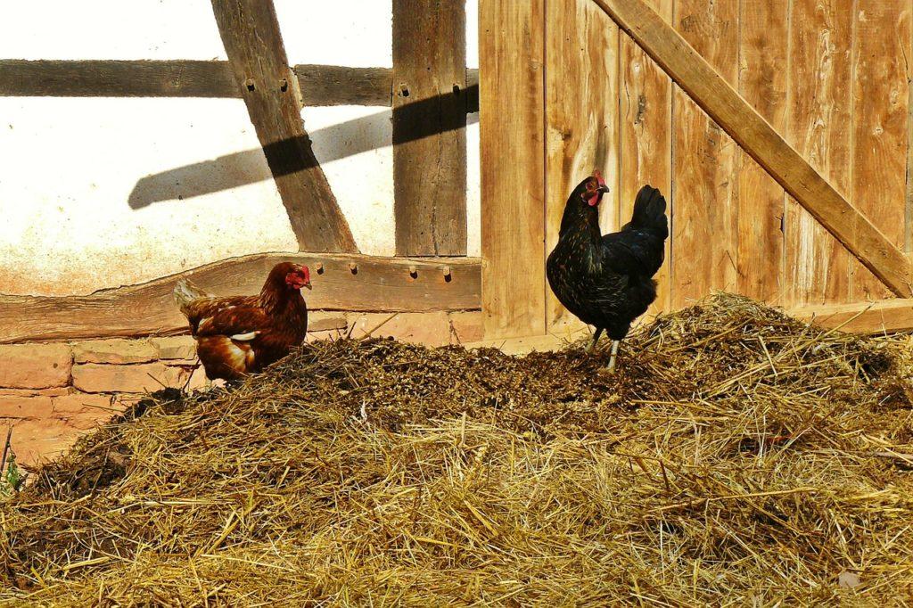 Hühner auf dem Mist - Geflügel halten