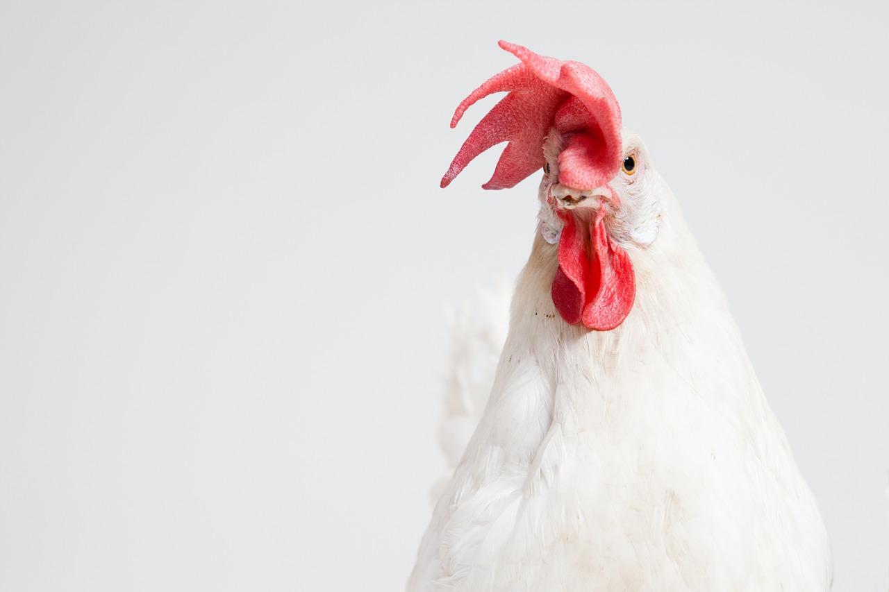Hühner – Legerassen