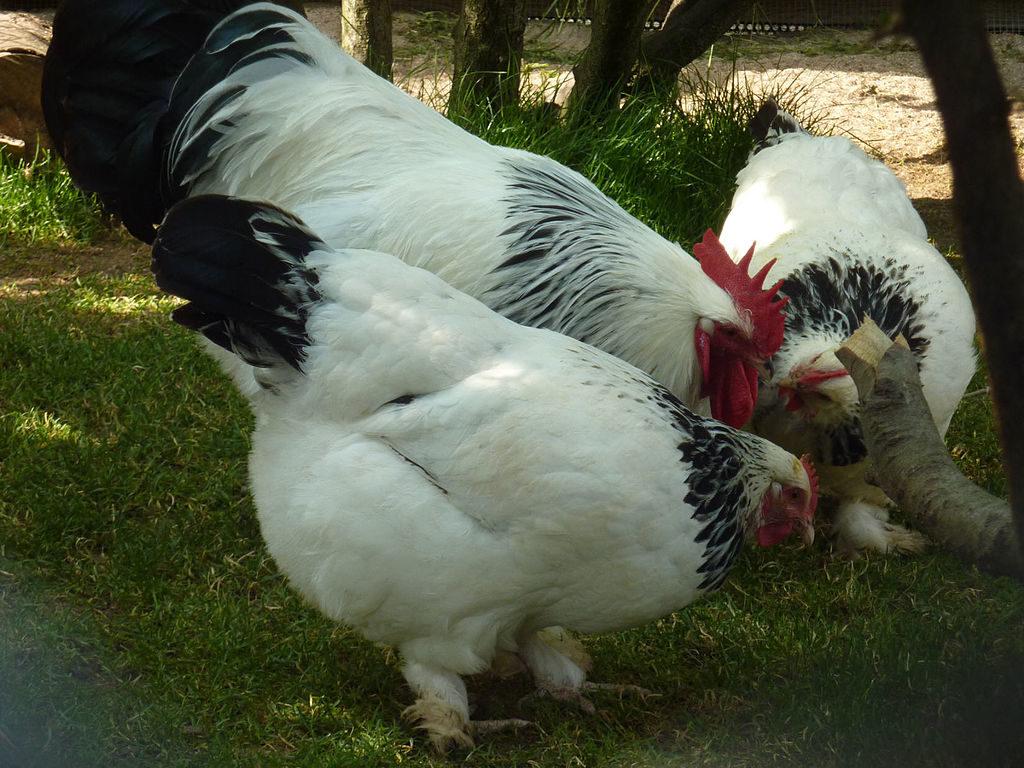 Sundheimer Hühner