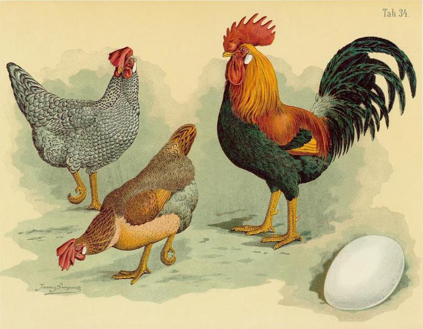 Italiener Hühner