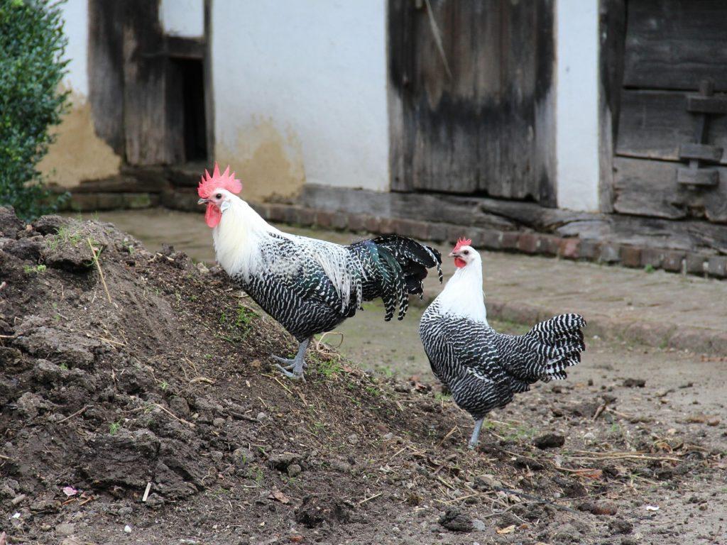 Brakel Hühner