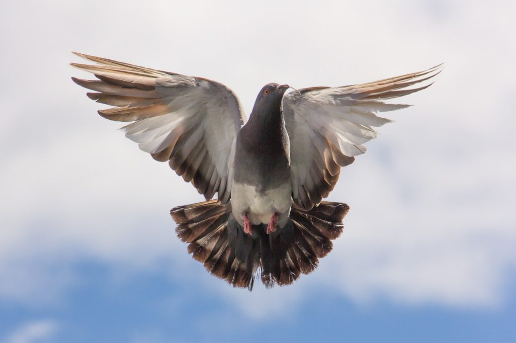 Taube im Flug - Tauben halten zur Selbstversorgung
