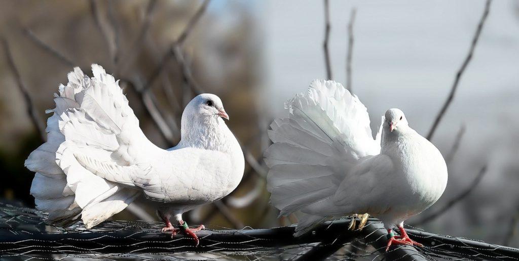 Weisse Tauben - Tauben halten zur Selbstversorgung