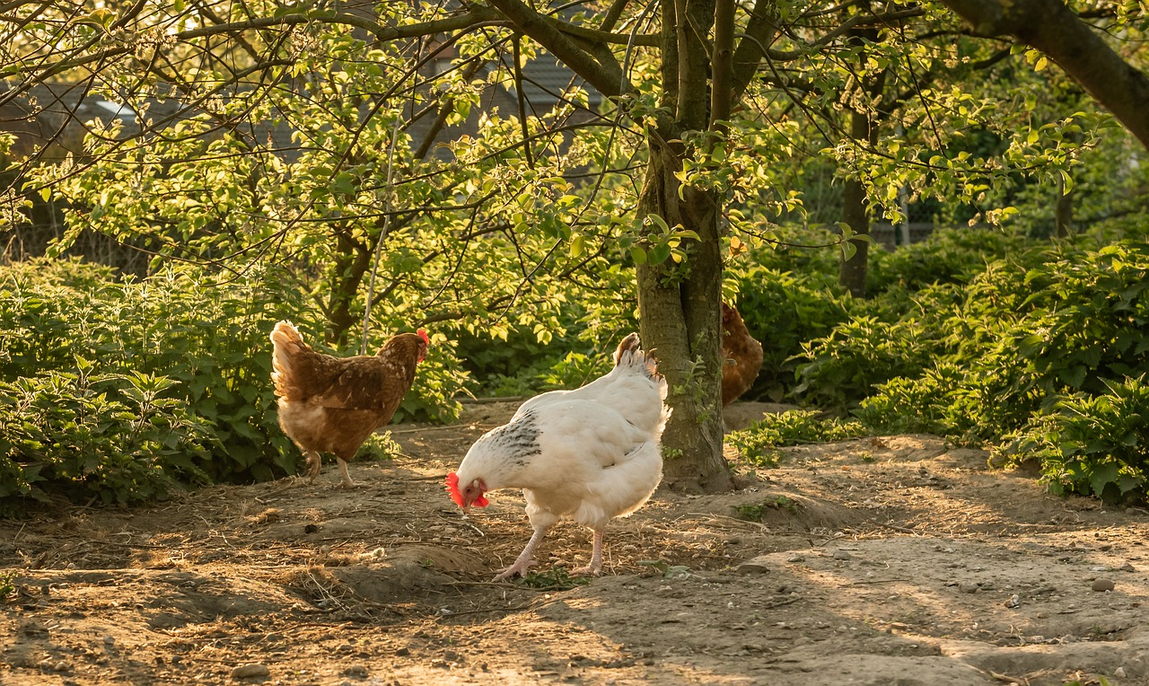 Hühnerfreilauf mit Bäumen und Büschen