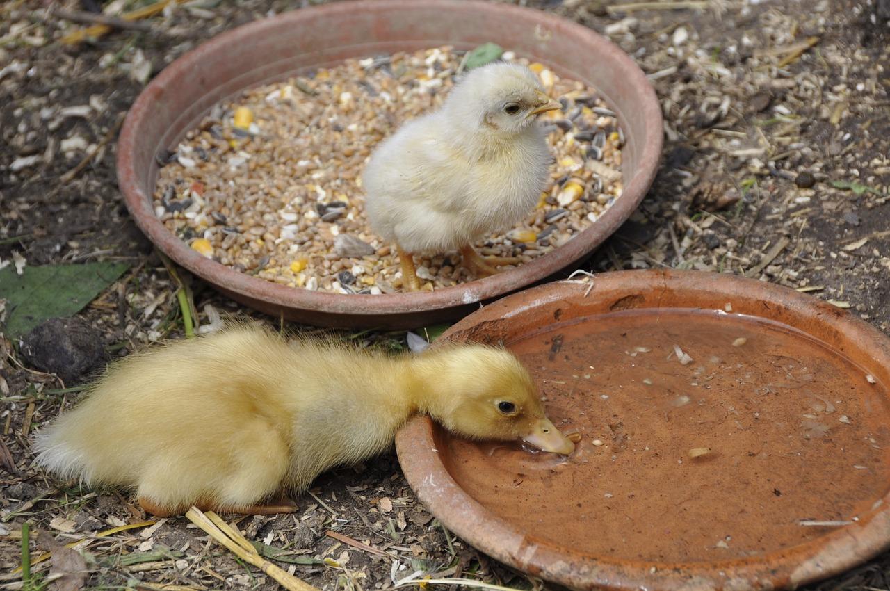 Entenküken und Hühnerküken an der Tränke - Hühnerfutter