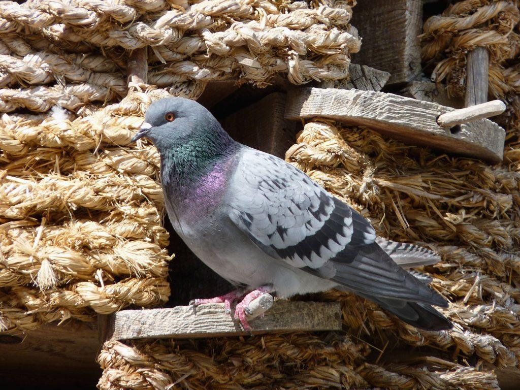 Taubenrassen zur Selbstversorgung